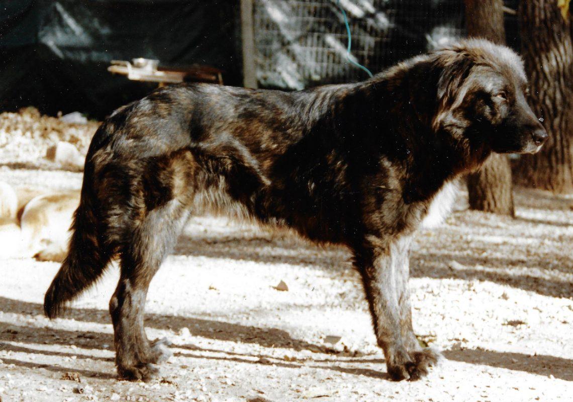 Louva des Girards, lice Cão da Serra da Estrela